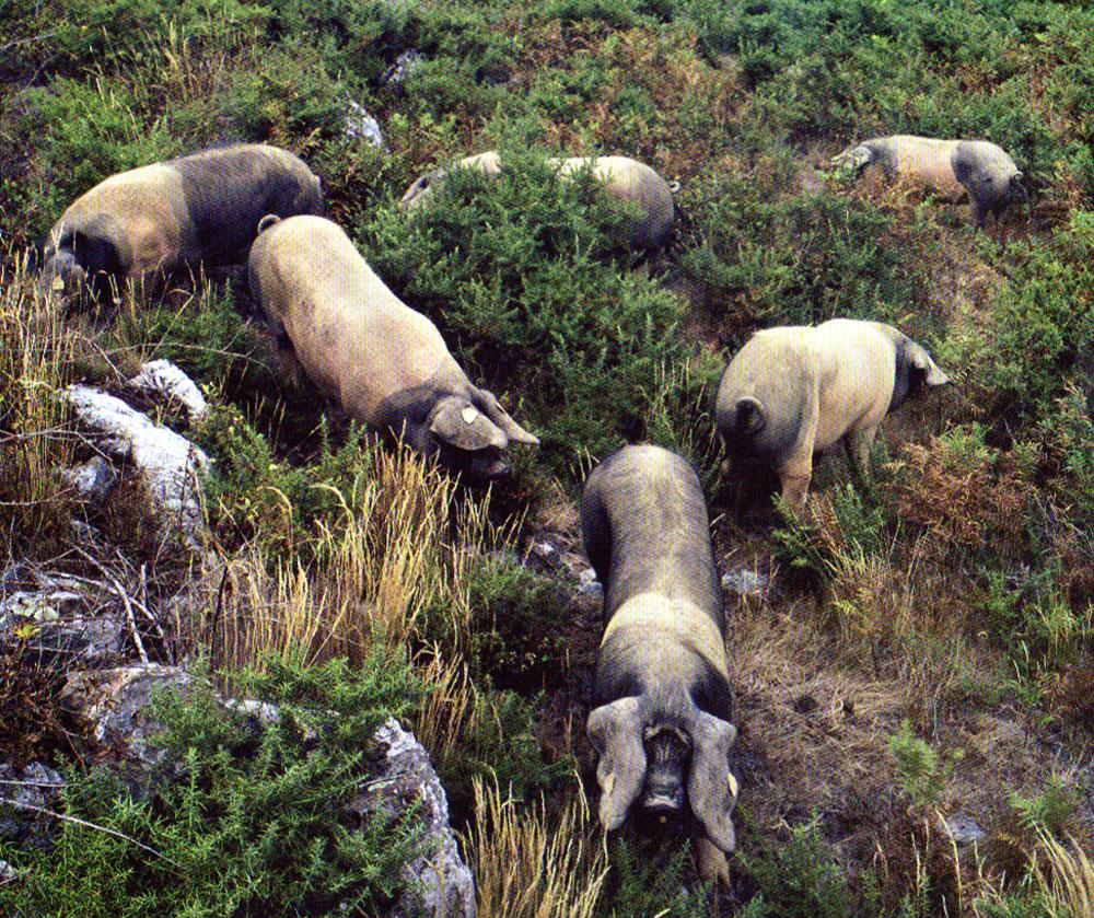 01 cochon sauvage domestique