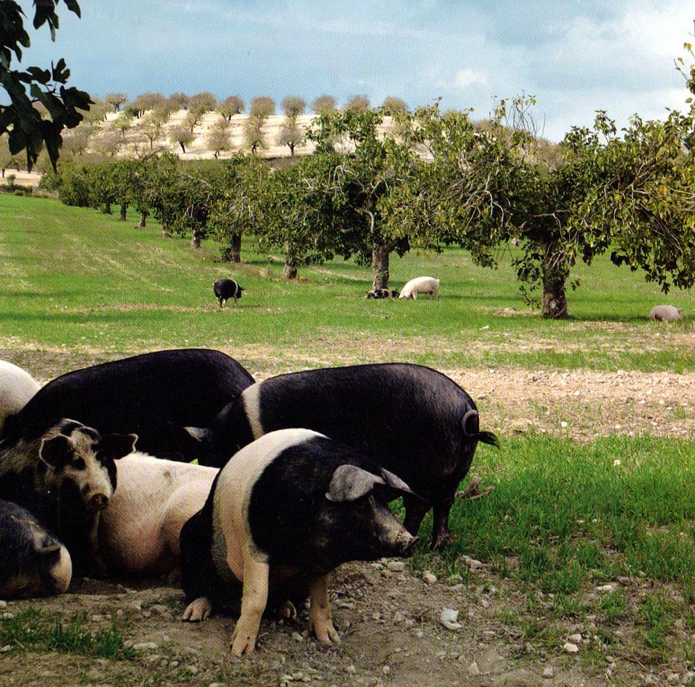 Porc aux champs