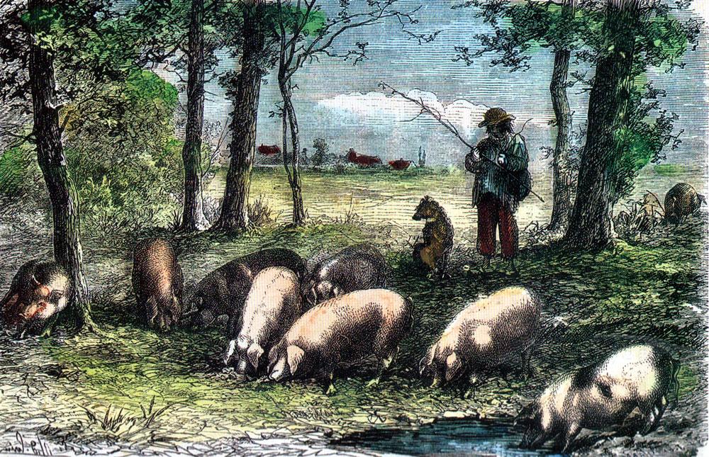 Troupeau de porcs au paturage