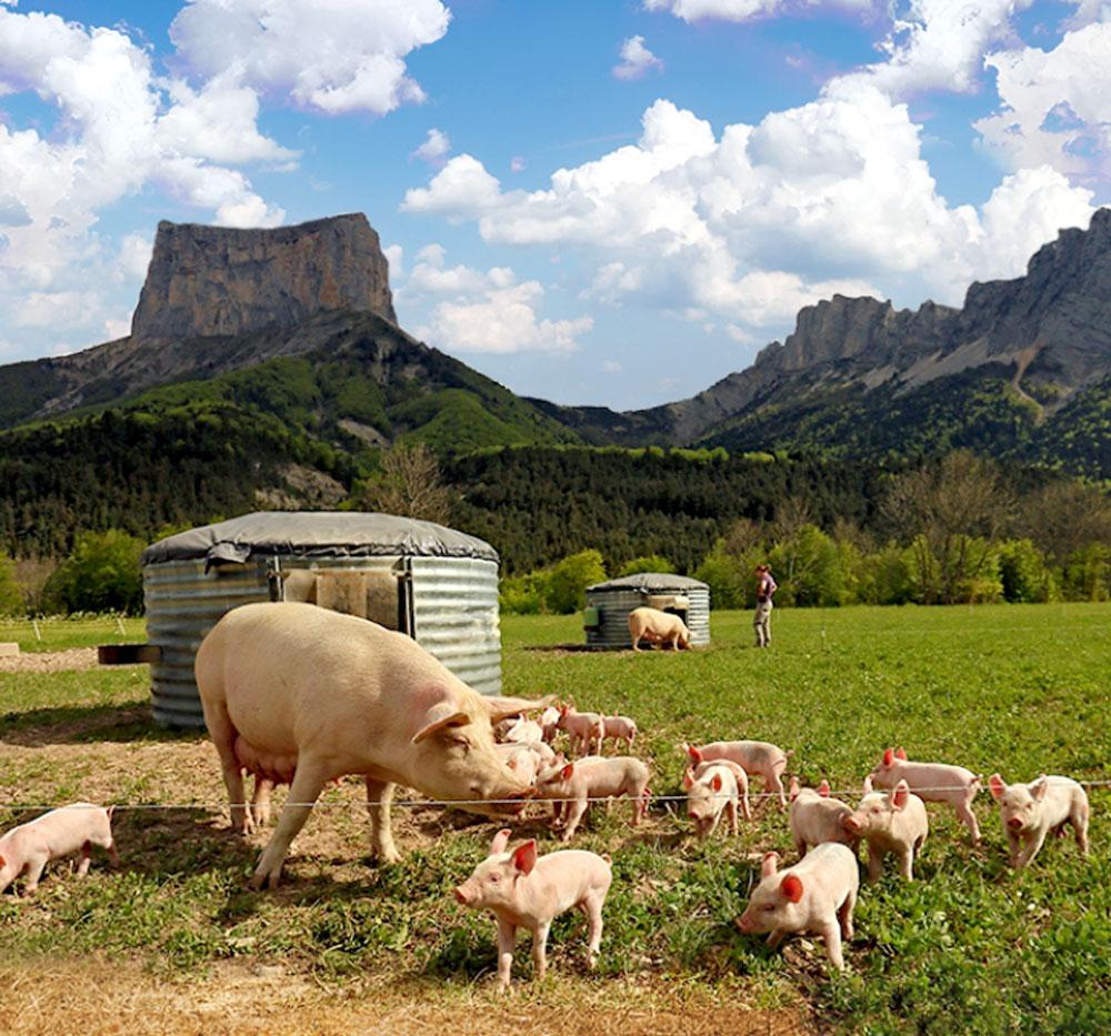 12 elevage bio porc