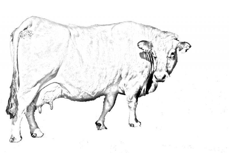 Vache neutre