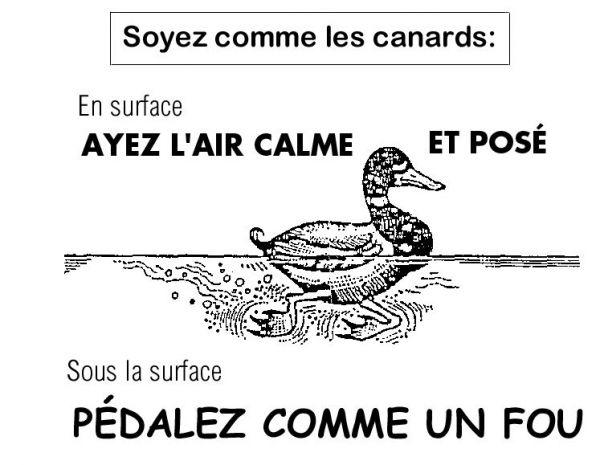 Canard calme